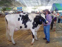 The National Dairy Cow Festival